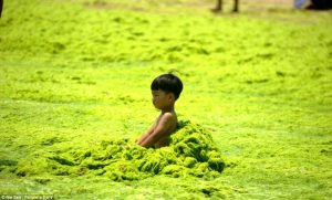 ALGAE ARE TAKING OVER OUR WORLD